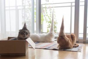 Kucing Kompakan